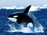 Emerging, Killer Whale